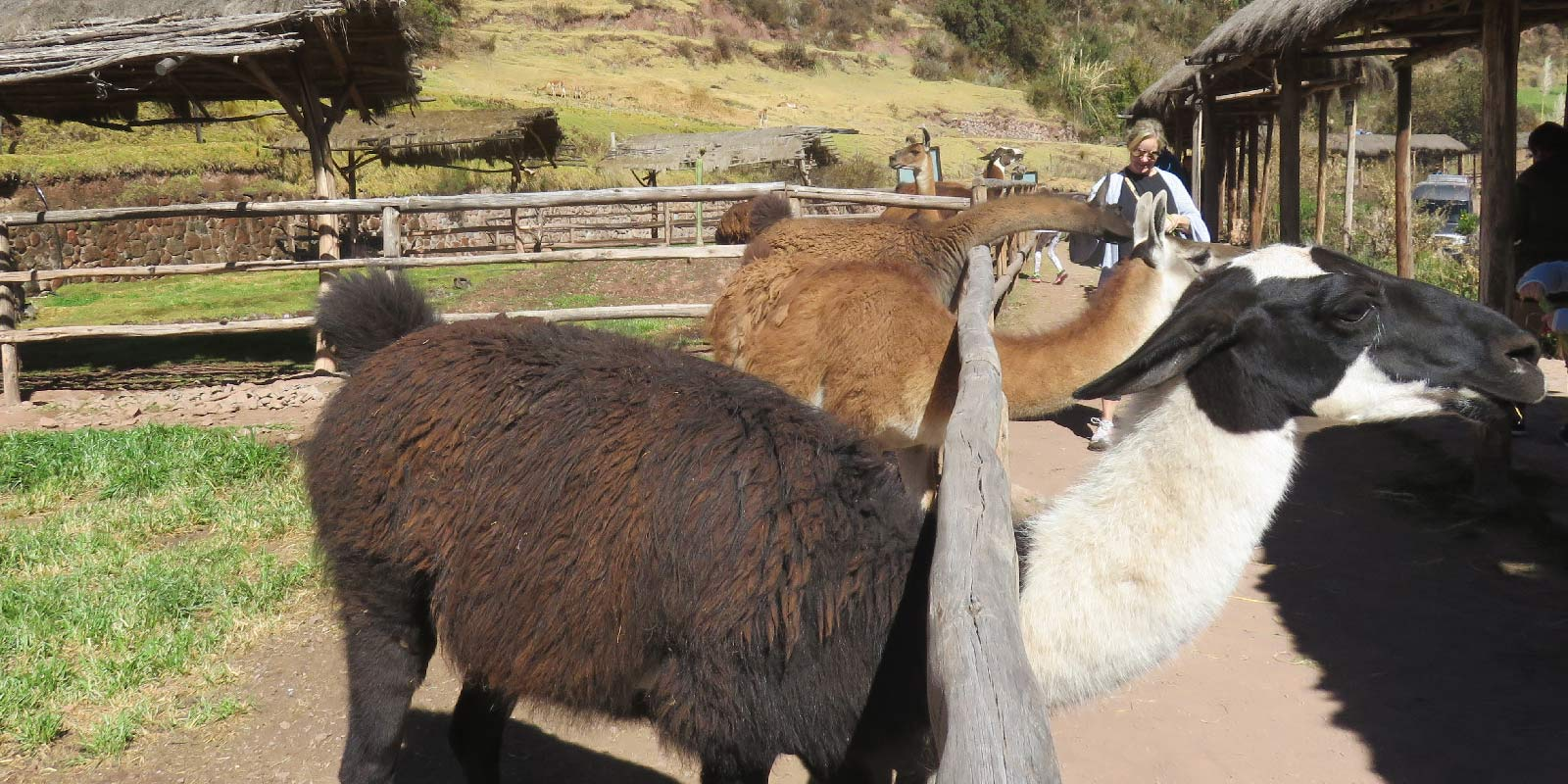 Alpaca-farm-in-the-Sacred-Valley